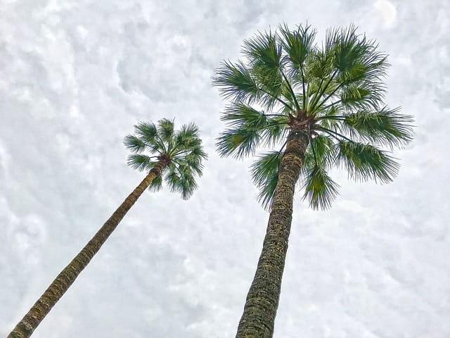 Palmiers de Cannes.