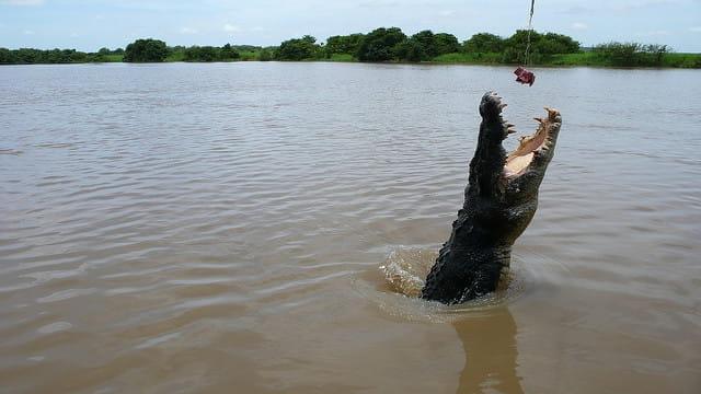 Crocodile sautant hors de l'eau pour dévorer un morceau de viande.